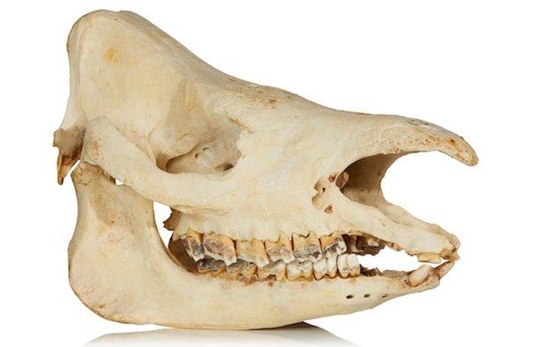 Sumatran Rhino Skull.jpg