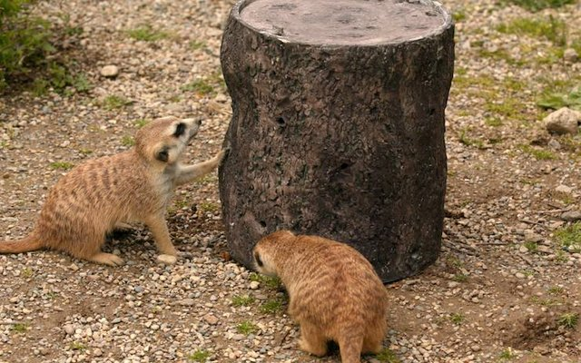 Meerkats with 3D printed feeder.jpg