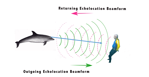 How a dolphin echolocates a human